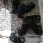 Χαρίζονται 6 ημίαιμα θηλυκά κουτάβια