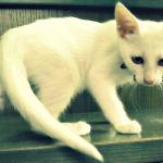 Λευκό γατάκι 2 μηνών χαρίζεται
