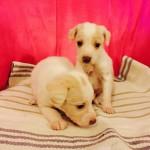 Χαρίζονται μικρόσωμα σκυλάκια 1,5 μηνών