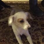 Χαριζονται σκυλακια μικρο-μεσαιο 5-6 κιλα