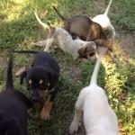 χαρίζονται σκυλάκια (7) Ημίαιμα Γκέκας-Σεγκούτσι