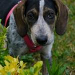 Κουκλίτσα ημίαιμη Beagle/Kurtzhaar