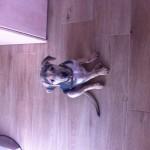 Χαρίζεται σκυλάκι 3 μηνών