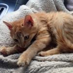 Χαρίζεται μικρό γατάκι Θηλυκό 2 Μηνών
