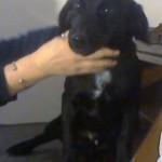 Χαρίζεται σκυλάκι pointer ημίαιμο