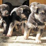 κουταβάκια απο λυκόσκυλο και τσοπανόσκυλο
