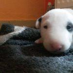 λευκα bull terrier