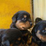 Πωλούνται Κουτάβια Rottweiler