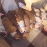 πωλουνται καθαροαιμα pit bull red nose (πρωτη γεννα)