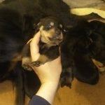 Εκθεσιακά rottweiler puppies