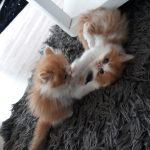 απαλή και κοινωνικότητα, Περσικό γατάκι χρειάζεται ένα σπίτι.
