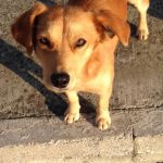 ben, half breed kokoni male, 10 months old, 9 kilos, needs a home asap, he lives in the streets.