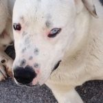 Oscar, an amazing half breed Dogo Argentino. He needs a home imediately, cause he lives in the street