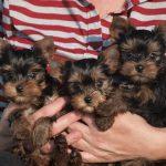υόρκσιρη τερριέρ / yorkshire terrier puppies
